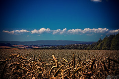 Wheat In The Heat