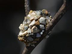 Strange insect nest like a terrestrial caddisfly (Treebeard) Tags: insectnest resinbee dianthidium anthidiellum megachilidae anthidiini anthophila hymenoptera caddisfly moth caterpillar sanmarcospass santabarbaracounty california