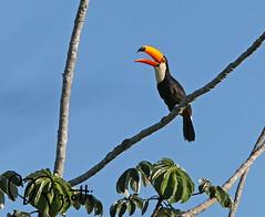 """Toco Toucan """"Elusive Fellow"""" (girlslens) Tags: tocotoucan toucan"""
