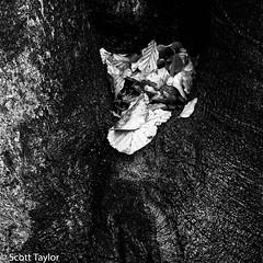 Leaves (Scrufftie) Tags: formatthitechcircularpolariser landscape woods canonef24105mmf4lisusm blackwhite canon photoshopcc woodland buckinghamshire formatthitech burnhambeeches monochrome style mono canon5dsr chilterns gitzotripod bw