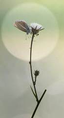Curves (Michel Couprie) Tags: macro nature backlight bokeh butterfly papillon insecte insect alpes animal flower fleur composition canon eos ef10028lmacro couprie