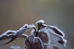 Frosty morning (Infomastern) Tags: söderslätt cold frost kallt macro makro natur nature