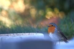 Pique-nique matinal (rocailles) Tags: rougegorge robin bokeh oiseau bird jardin garden