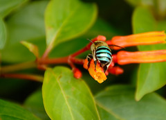 Blue-banded bee (malc1702) Tags: bluebandedbee bee insects nature garden outdoor closeup macro bugs nikond7100 nikkor18140mm flowers orange leaves bokeh fantasticnature