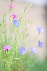 Viscaria (haberlea) Tags: garden mygarden flowers viscaria viscariaangeleyes multicoloured colours green nature pink blue
