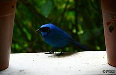 Turquoise Jay (Cyanolyca turcosa) (Mahmoud R Maheri) Tags: bird turquoisejay cyanolycaturcosa avian jay ecuador guangoriver guangolodge forest rainforest window