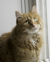 Clem Thursday: Pensive Boy (Photo Amy) Tags: adorable aminal canon50d cat cuddly cute cuteness ef50mm18 eartufts feline fluffy fur furry ginger kitten longhair longhaired orange pet precious red tabby toefur whisker whiskers