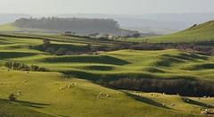 Rolling hills of Dorset (Edmund Shaw) Tags: sheep dorset england hills rolling sunny landscape