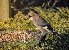 DSC_2972 Jay (Rattyman76) Tags: corvid jay feeding