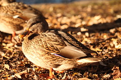 Basking in November sunshine (AngharadW) Tags: sun autumn leaves cymru wales caerdydd lake roath cardiff camouflage brown feather duck outdoor purple beak wing