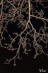 Albero notturno (f.cevrero) Tags: night notte tree albero without leaves senza foglie nikon d3200 portrait ritratto