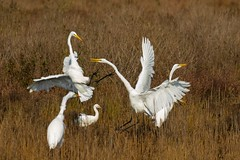 7K8A3980 (rpealit) Tags: scenery wildlife nature chincoteaque national refuge great egrets bird egret