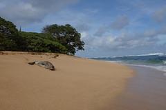 Hawaiian Monk Seal (Casey Fox) Tags: kauai hawaii larsensbeach kauainorthshore monkseal hawaiianmonkseal endangeredspecies beach ocean