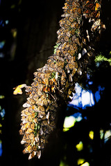 Monarch Garland (Steve Corey) Tags: monarchbutterfly garland massbutterflys insects flyinginsects monarchclump