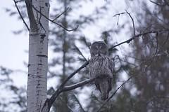 Great Grey Owl (robblansdowne) Tags: