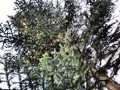 Oh Tannenbaum 2 (thomaslion1208) Tags: weihnachtsmarkt weihnachten nol crismas baum weihnachtsbaum freiburg
