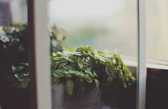 . (ammoniumchlorid) Tags: summer plants green window leaves soft bokeh pastel dreamy natureycrap canoneos6d ef50mmf114