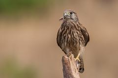 Gheppio (falco tinnunculus) Kestrel