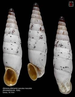 albinaria (albinaria) caerulea maculata2 grece 16mm1