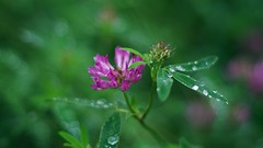 Clover, Sweden 2015 (Stefano Rugolo) Tags: pentax k5 smcpentaxm50mmf17 purple bokeh clover droplets green angle colors summer sweden hälsingland vacation 2015 169 stefanorugolo