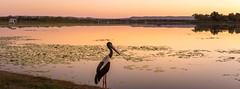 Jabiru sunset (.Stephen..Brennan.) Tags: sunset panorama bird au australia westernaustralia waterscape kununurra fa43 pentaxk3