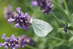 Black-veined White II (Ralf Muennich) Tags: butterflies blackveinedwhite schmetterlinge aporiacrataegi baumweisling