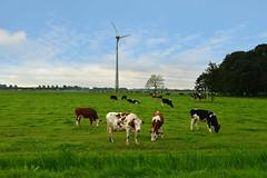 A3impressies agrarische fotografie (A3impressies) Tags: nederland hollands weiland landschap koeien windmolens agrarisch grasland weidegang grazende