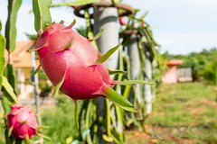 Dragon fruit on farm (Kedzoo (pics.kedzoo.com)) Tags: pink red summer cactus food plant black tree green nature closeup fruit garden healthy raw dragon sweet eating farm grow fresh delicious tropical growing organic agriculture freshness ripe pitahaya pitaya