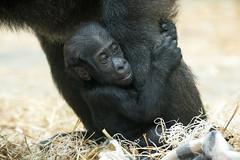 Baby Gorilla Hanging On to Mom's Leg (Eric Kilby) Tags: park baby animal zoo franklin gorilla massachusetts ape primate aziza westernlowland