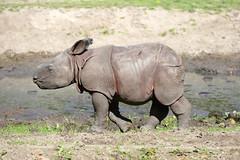 Nashornbulle Thanos - Tierpark Berlin (PLADIR) Tags: baby outdoor panasonic rhino afrika tierpark tier tierparkberlin nashorn rhinobaby thanos nashornbaby panzernashorn nashornbulle fz1000