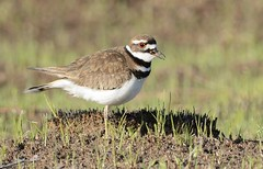Killdeer (jdcalvin096) Tags: feathers plover egglaying naturescreations