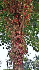 Couroupita guianensis (Mauricio Mercadante) Tags: red brazil tree brasil couroupitaguianensis abricódemacaco lecythidaceae couroupita taxonomy:binomial=couroupitaguianensis