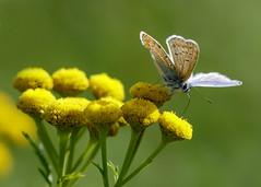 Flower hopping (Mijn natuurfoto's) Tags: macro closeup canon maastricht september deirdre icarus macrolens polyommatusicarus icarusblauwtje tanacetumvulgare bosscherveld boerenwormkruid canon7dmarkii