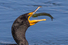 Double-crested Cormorant (OC Birds) Tags: california wild bird nature animal canon wildlife cormorant huntingtonbeach avian bolsachica doublecrestedcormorant doublecrested
