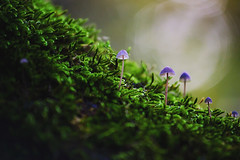 Tiny Mushrooms (Doru Oprisan) Tags: macro tree green nature mushroom forest photography moss woods nikon photograph tiny d750 500px ifttt