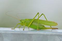 DSC_0622 grote groene sabelsprinkhaan, Tettigonia viridissima, Great Green Bush-Cricket, grande sauterelle verte, Grünes Heupferd