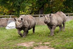Eastern Black Rhinos (Gareth Christian) Tags: camera mammals 80400mm chesterzoo easternblackrhinoceros dicerosbicornismichaeli nikond750 hoofedgrazing