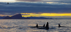 A small pod of orcas outside Kvaløya (Snemann) Tags: november sunset animals norway orca atsea tromsø troms kvaløya sigma70mmf28exdgmacro pentaxk5
