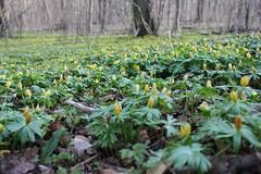 (pohlmann.martin) Tags: canon outdoor natur jena blüten winterlinge rautal