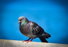 Colorful Pigeon (Daveyal_photostream) Tags: bird nature beautiful beauty birds animal closeup outdoors nikon colorful outdoor pigeons beak bluesky an birdseye d600 nikor sweetfreedom mycamerabag mygearandme meandmygear