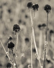 seed heads (srlh627) Tags: week462016 52weeksthe2016edition weekstartingfridaynovember112016 blackeyedsusan rudbeckia fall autumn