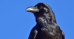 Kolkrabe (staretschek) Tags: rabe rabenvogel kolkrabe schwarzervogel