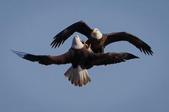 2015 December 04 Conowingo Dam-261_.jpg (jwfuqua-photography) Tags: jerrywfuqua birds eagles nature maryland jwfuquaphotography conowingodam birdsofprey