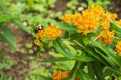 Bee and Milkweed Bug on Butterfly Weed (Lexie Stevenson) Tags: orange bee milkweedbug butterflyweed asclepiastuberosa pollinator