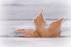 Frosty (Explore 2015-11-19) (nillamaria) Tags: leaf frosty löv frostigt