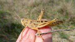 cream and brown grasshopper (John Tann) Tags: australia september nsw grasshopper orthoptera 2015 oxleywildriversnationalpark taxonomy:order=orthoptera geo:country=australia eastkunderang