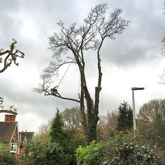 "@dan_jeanes in a large sycamore earlier this week. Both contracting to Stump Removal Services #wardenstreecare <a style=""margin-left:10px; font-size:0.8em;"" href=""http://www.flickr.com/photos/137723818@N08/23678198556/"" target=""_blank"">@flickr</a>"