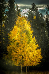 Beautiful Aspen (http://fineartamerica.com/profiles/robert-bales.ht) Tags: wood autumn red arizona people panorama orange mountain mountains color tree fall nature colors beautiful beauty leaves yellow forest season landscape outdoors gold golden photo leaf oak woods october scenery colorful fallcolor bright fallcolors scenic vivid places scene autumnleaves foliage alpine bark valley birch states projects wilderness aspen tranquil haybales aspentrees vibrantcolor aspengrove aspenleaves aspenforest forupload flagstaffarea robertbales