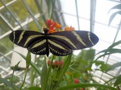 Hortus Botanicus-12 (Quetzalcoatl002) Tags: hortusbotanicus vlindertuin butterflies amsterdam vlinders butterflygarden closeup