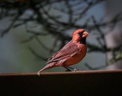 Northern Cardinal (John Caravella) Tags: october nikon 14x backyard 150600 d500 cardinaliscardinalis northerncardinal sigmasport bird wisconsin 2016 bayside unitedstates us